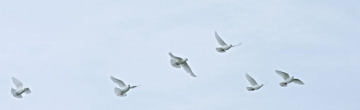 A Quality White Dove Release