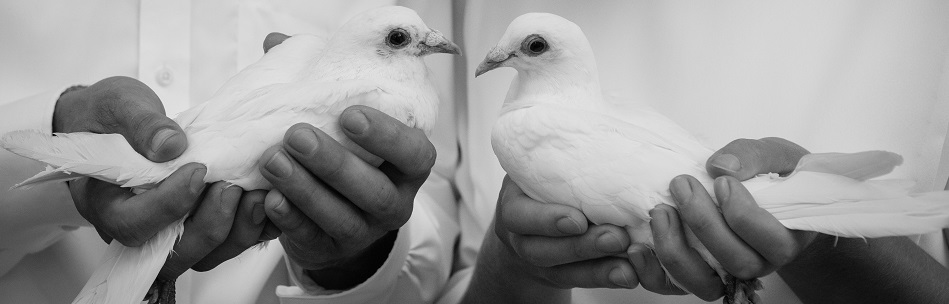 Holding doves in preparation for a dove release